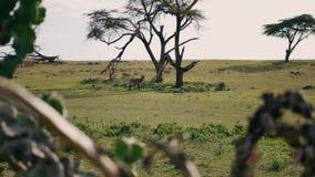 Antilop Kobus And Springbok Graze On en grön äng i den afrikanska savannahen stock video