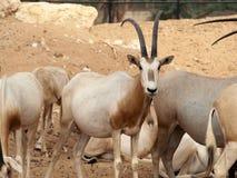 Antilop med stora horn Royaltyfria Foton