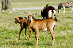 Antilop på grönt gräs Royaltyfri Bild