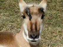 Antilop på vilar Arkivfoton