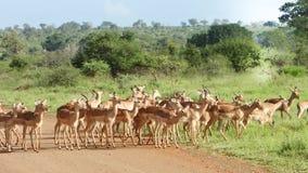 Antilop som impalan kostar på gräset i africa arkivfoton
