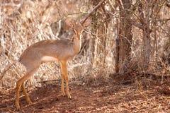 Antilop står i savannahen av Kenya, dik-dik Arkivbild