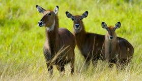 Antilop tillsammans arkivbild