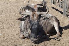 Antilopa στο ζωολογικό κήπο Στοκ φωτογραφίες με δικαίωμα ελεύθερης χρήσης