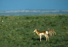antilopdoen lismar den tvilling- prärien Royaltyfri Bild