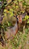 Antilope ζευγάρι Dik-dik στον όμορφο βιότοπο φύσης Στοκ Εικόνες