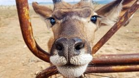 Antilope που φαίνεται περίεργο Στοκ φωτογραφία με δικαίωμα ελεύθερης χρήσης
