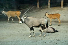 Antilope στο ζωολογικό κήπο Στοκ εικόνες με δικαίωμα ελεύθερης χρήσης