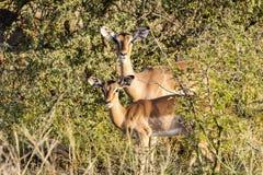Antilope στο θάμνο του πάρκου Kruger Στοκ Φωτογραφίες