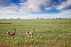 Antilope stockfotos