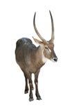 Antilope Lizenzfreie Stockbilder