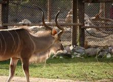 Antilope Royalty Free Stock Photo