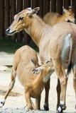 Antilope image libre de droits
