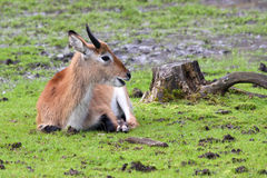 Antilope. Lying in the field Royalty Free Stock Photo
