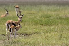 Antilope Stockbild