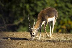 Antilope Royalty Free Stock Image