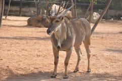 Antilope Fotografia Stock Libera da Diritti