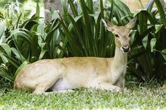 Antilope Immagini Stock Libere da Diritti