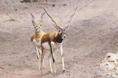 Antilope royalty-vrije stock foto
