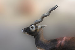 Antilope Fotografía de archivo