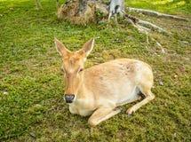 Antilope. 16 Immagini Stock