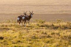 antilope Royalty-vrije Stock Afbeelding
