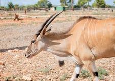 Antilope Στοκ εικόνες με δικαίωμα ελεύθερης χρήσης
