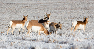 antilope Royalty-vrije Stock Fotografie