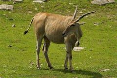 antilope Immagini Stock