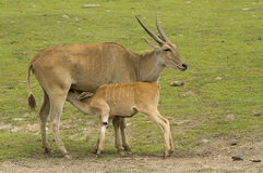 antilope Fotografie Stock Libere da Diritti