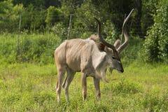 antilope Fotografia Stock