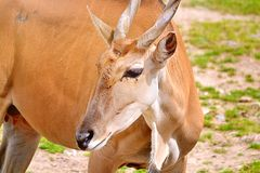 antilope Images stock