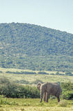 antilope Image stock