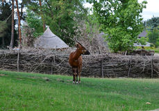 antilope Immagine Stock