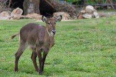 antilope Photos stock