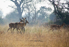 antilope Photographie stock libre de droits