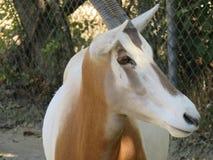 antilope Stock Foto