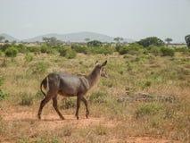 Antilope Photos libres de droits