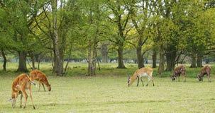 antilope Royalty-vrije Stock Afbeeldingen