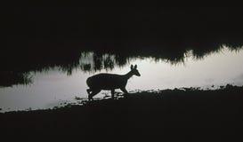 Antilope ad un waterhole fotografia stock libera da diritti