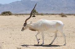 Antilope Addax royalty-vrije stock foto's