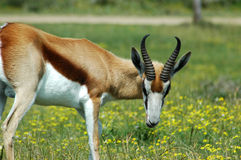 Antilope africaine Image stock
