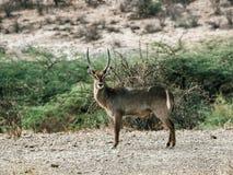 Antilope africaine de Waterbuck chez Samburu photos libres de droits