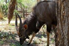 Antilope africana nella savanna Fotografia Stock