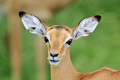 Antilope africana selvaggia, Fotografie Stock