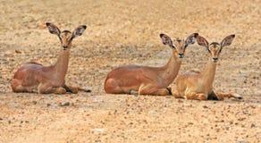 Antilope africana selvaggia, Fotografie Stock Libere da Diritti