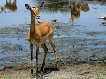 Antilope africano Immagine Stock