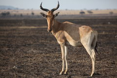 Antilope in Afrika Royalty-vrije Stock Fotografie
