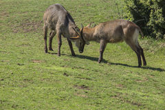 Antilope alcina o eland comune Taurotragus oryx. Two common elanders challenge in a strength test royalty free stock photography