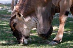 Antilope Alcina - taurotragus oryx Στοκ εικόνες με δικαίωμα ελεύθερης χρήσης